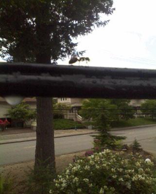Carpenter Ant Trailing on Utility Line