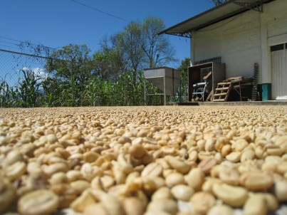 Parchment coffee drying