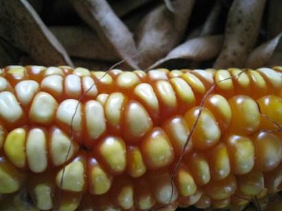 Dried corn for storage