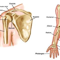 Skeletal Muscle Diagram Labeled Wiring Plug And Switch Arms All Data Of Schematic Limb Arm