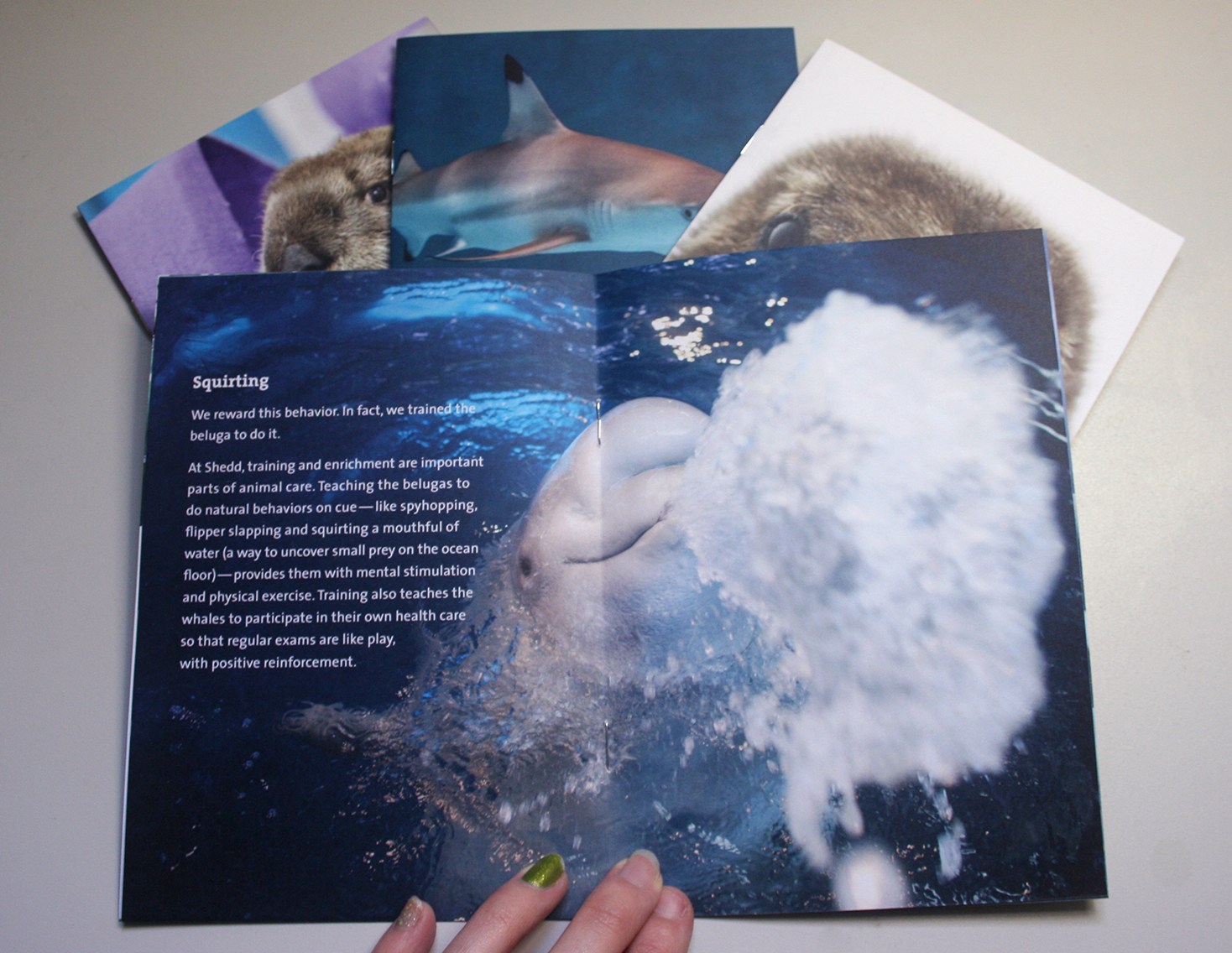 A booklet is shown open to a full-spread image of a beluga whale spitting water at the camera. Information about this behavior is overlaid on the left side of the photo.