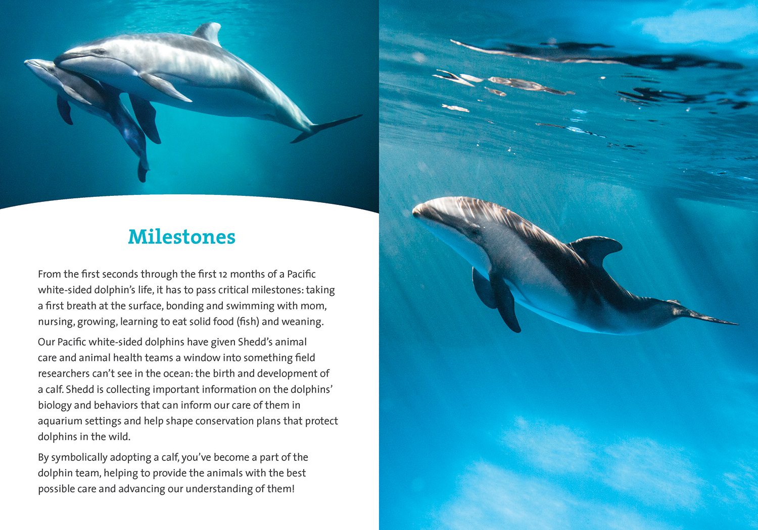 The inside spread of a dolphin book, featuring a story on the left titled 'Important Milestones' and a photo of a dolphin calf on the right.