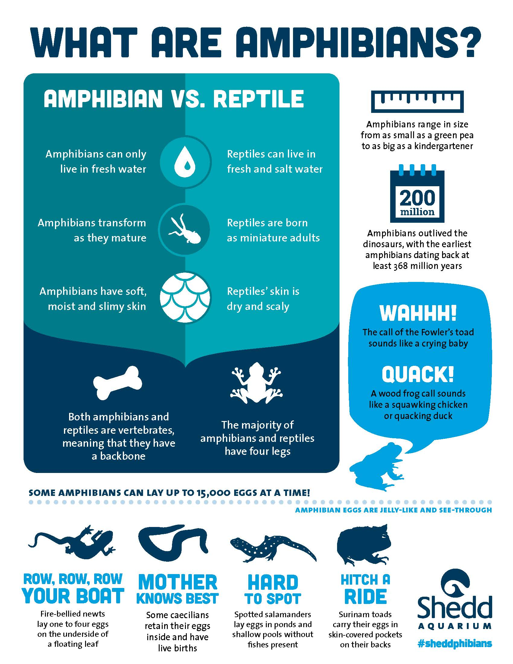 """An infographic page titled, """"What are amphibians?"""" A large section jus tbelow the title in light and dark teal reads 'Amphibian vs. reptile' and details three ways that amphibians and reptiles can be told apart. Other amphibian facts, accompanied by playful icons in dark blue and vivid cyan, fill up the margins of the page."""