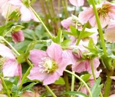 Lenten Rose - Hellebore