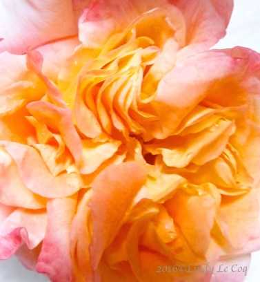 Rosa 'Charisma'