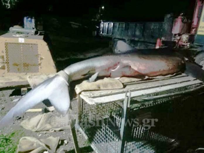 γαλαζιοσ καρχαριασ2