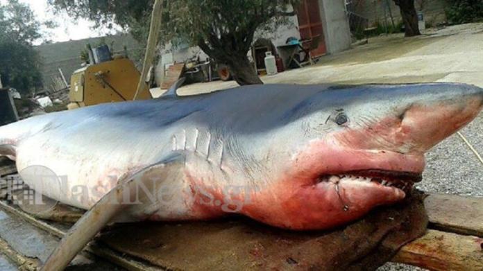 γαλαζιοσ καρχαριασ3