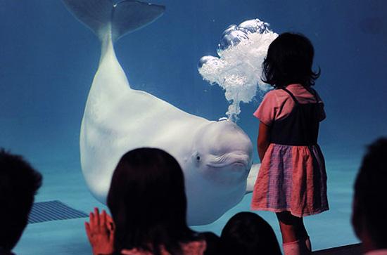φάλαινα Beluga5