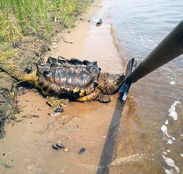 χελωνα1