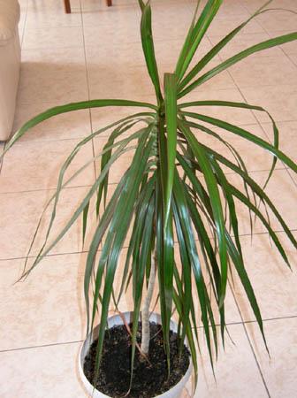 Mes plantes dintrieur  Dracaena