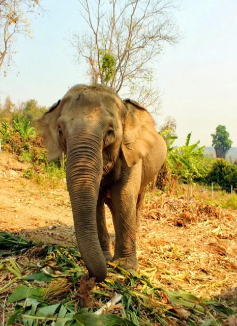 Chiang Mai Elephant Retirement Park