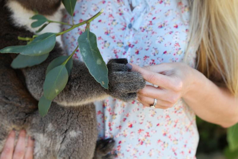 Koala at KI Wildlife Park