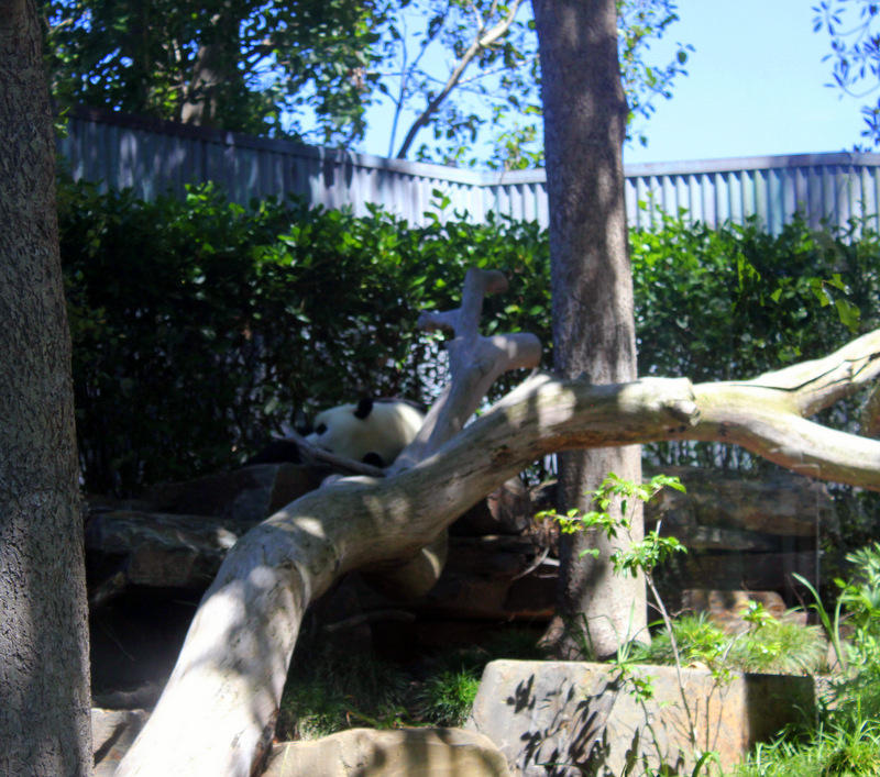Giant panda at Adelaide Zoo