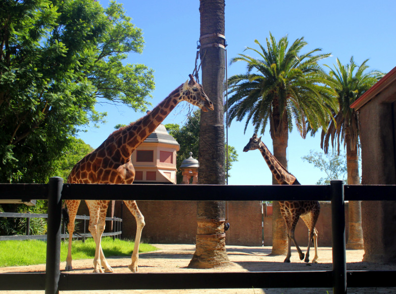 Giraffes at Adelaide Zoo