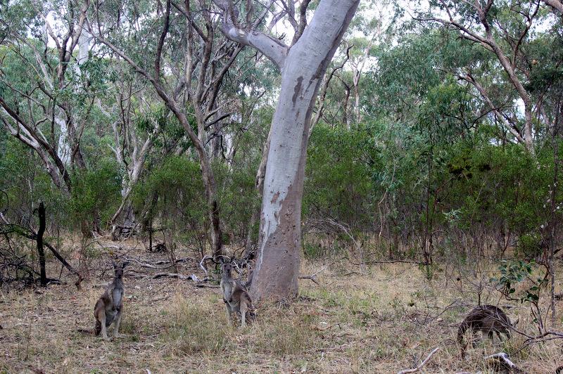 Kangaroos in Belair National Park