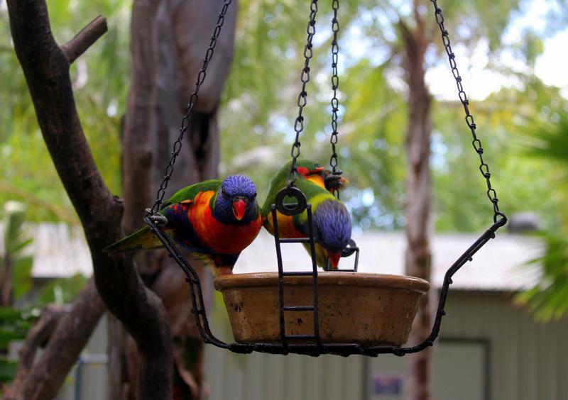 Rosella parrots