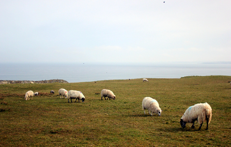 Sheep in Northern Ireland