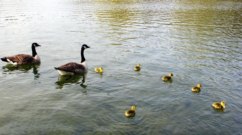 Geese at Verulamium Park