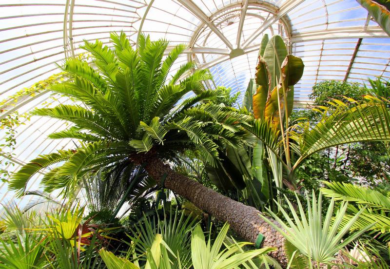 Ancient cycad at Kew Gardens