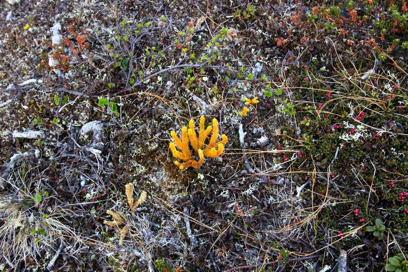 Kiilopaa vegetation