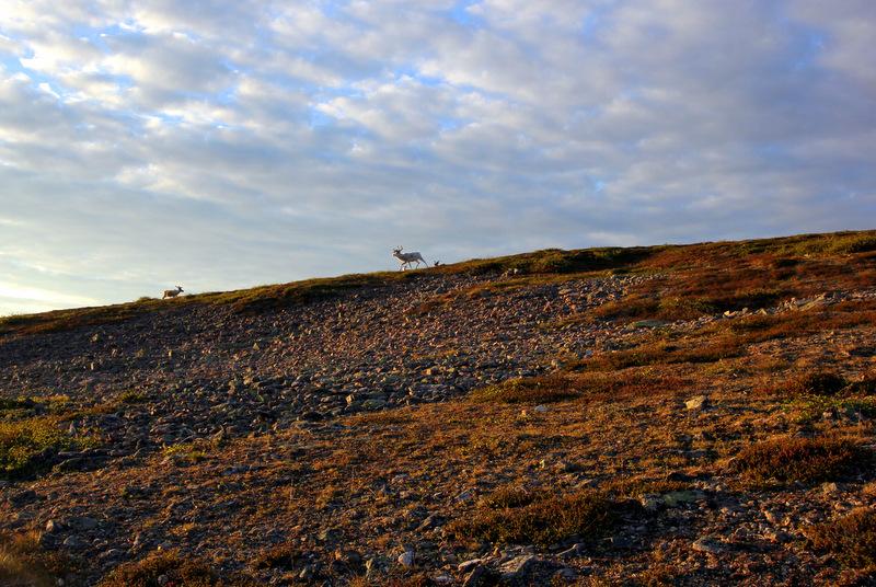 Reindeer on Kiilopaa Fell