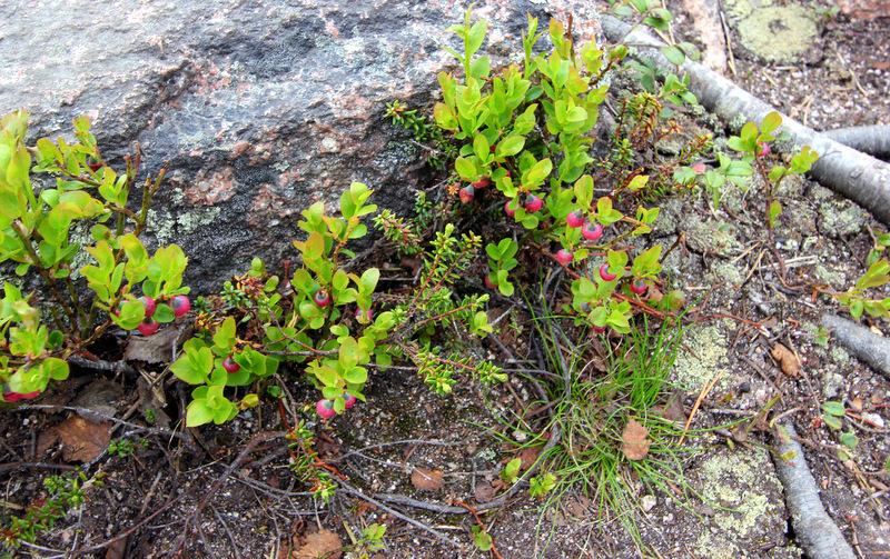 Blueberries in Lapland