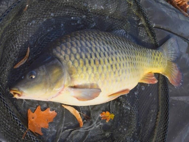 Sefton park lake carp fishing liverpool