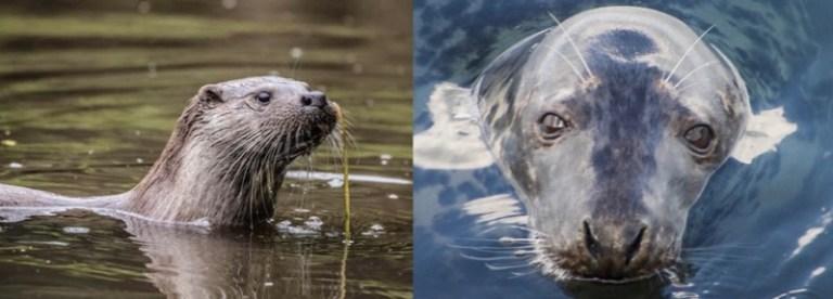 seal otter angling predation