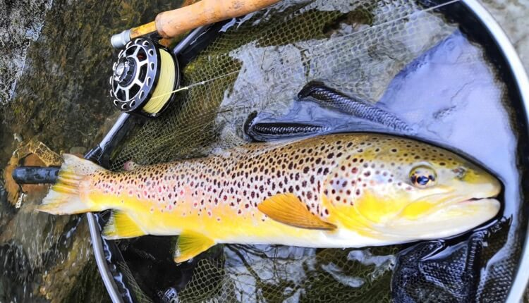specimen big trout wales River Taff