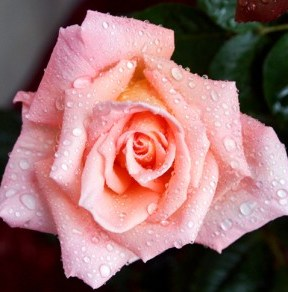 roses2-0010_RT8-600a