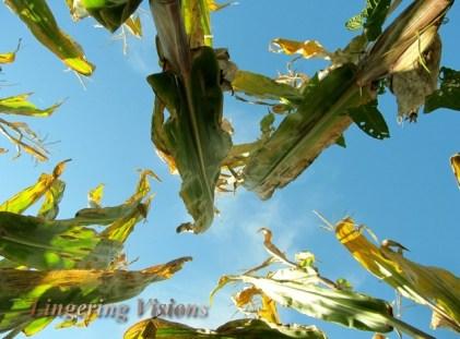 Up Through the Corn Husks