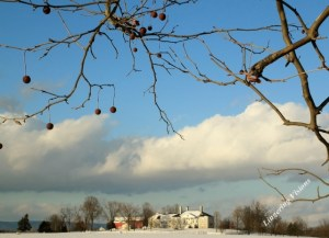 """Mother nature's own """"Christmas Balls"""" hanging from the Sycamore tree."""