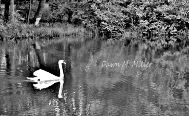 Swan in blackNwhite