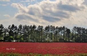 Crimson Clover rejuvenates the earth# (2)