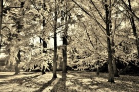 Trees in Sepia# (1)
