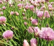 spring-pink-at-blandy