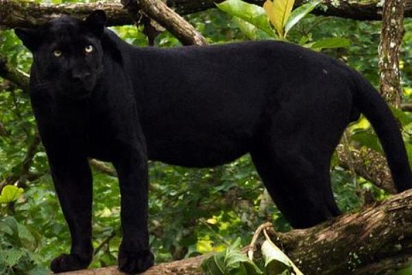 """panther"""" in Thai 