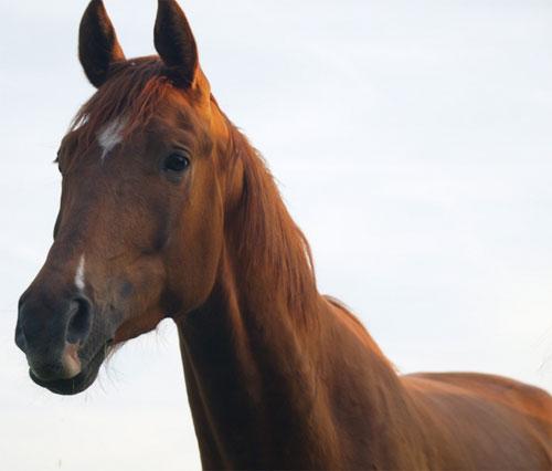 Мое любимое животное - лошадь