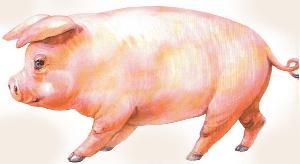животные на английском - свинья, свинка, поросенок