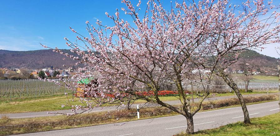 Mandelblüte in der Pfalz bei Gimmeldingen..