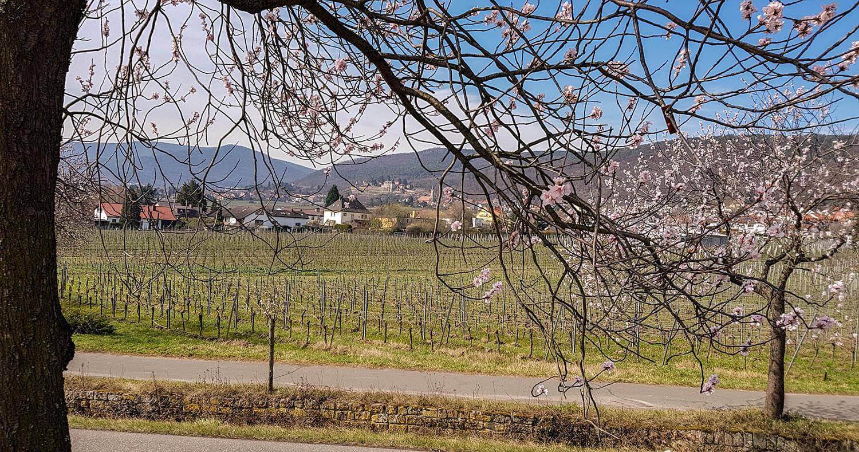 Blick auf die Pfälzer Berge und das Winzerdorf Haardt.