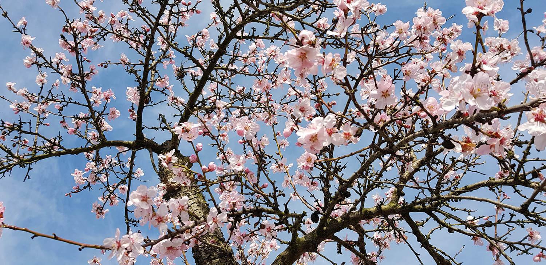 2.500 Mandelbäume gibt es in Gimmeldingen.