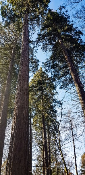 Mammutbäume im Stromberg