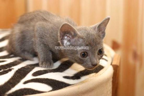 科來特貓,呵叻貓 ,考拉特貓, 科來特貓 ,銀貓 ,呵叨貓@艾貓樂園|PChome 個人新聞臺