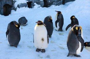 【親子遊】北海道~旭川動物園看企鵝逛大街