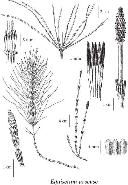 horsetail plant diagram kenworth radio wiring e flora bc electronic atlas of the illustration click to expand contents