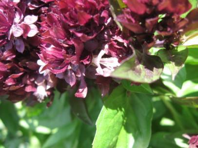 Basil flowers.