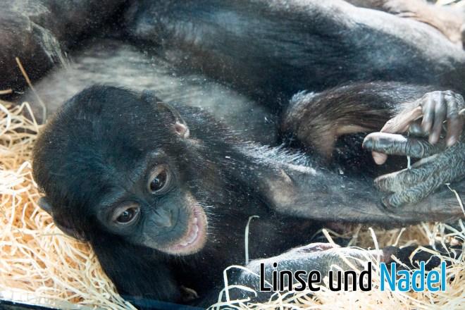 Bonobo_03