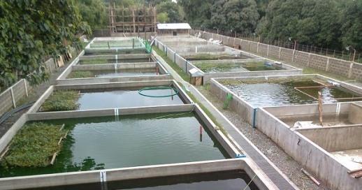 10+ Cara Budidaya Ikan Nila Sampai Panen Pada Kolam Tanah ...