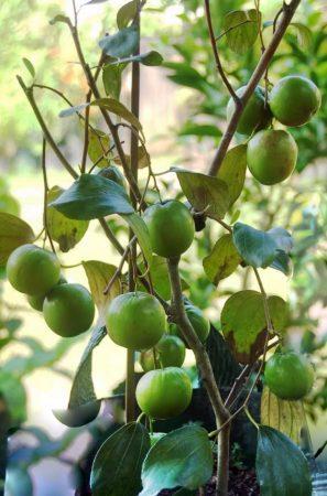 jenis bidara putsa atau apel india